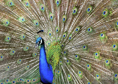 Photograph - Pretty Peacock 2 by Lydia Holly
