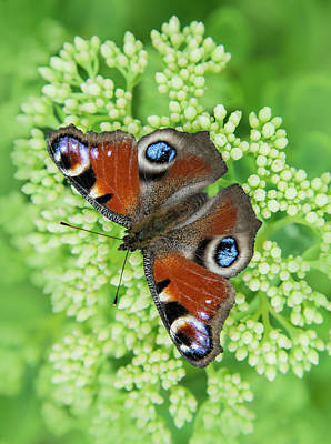 Photograph - Pretty Peacock Butterfly by Jaroslaw Blaminsky