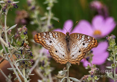Photograph - Pretty Peacock Butterfly by Ruth Jolly