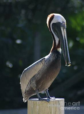 Photograph - Pretty Pelican by Dodie Ulery