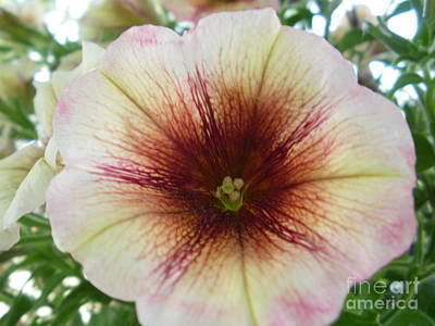Pretty Petunia Art Print by Sonya Chalmers