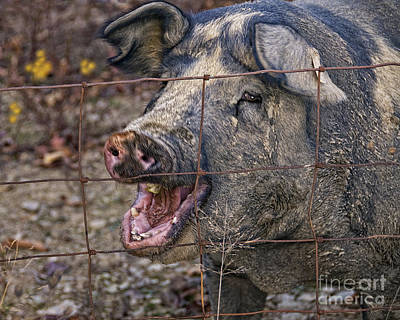 Farm Raised Pigs Photograph - Pretty Pig by Timothy Flanigan and Debbie Flanigan at Nature Exposure