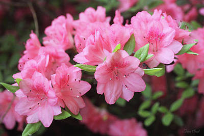Photograph - Pretty Pink Azalea Blossoms by Trina Ansel
