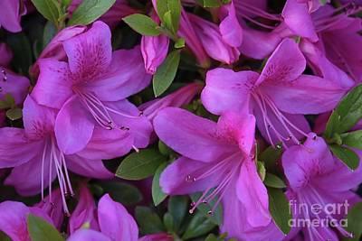 Photograph - Pretty Pink Azaleas by Patricia Strand