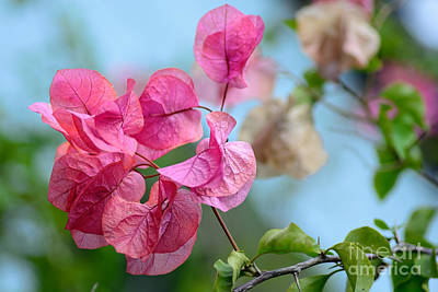 Photograph - Pretty Pink Bougainvillea By Kaye Menner by Kaye Menner