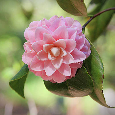 Floral Photograph - Pretty Pink Camellia 2- Photography By Linda Woods by Linda Woods