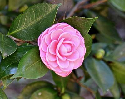Photograph - Pretty Pink Camellia  by Carol Bradley