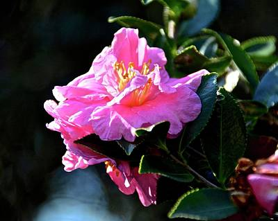 Photograph - Pretty Pink Camellia Sasanqua by Carol Bradley