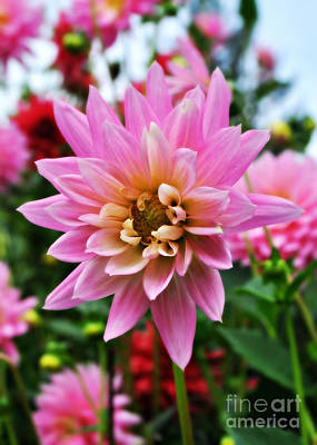 Photograph - Pretty Pink Dahlia  by Mindy Bench