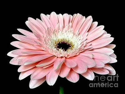 Photograph - Pretty Pink Gerbera Daisy by Jeannie Rhode