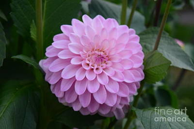Photograph - Pretty Pink Lady by Jeannie Rhode