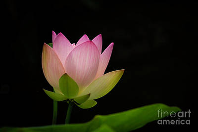 Photograph - Pretty Pink Lotus by Sabrina L Ryan