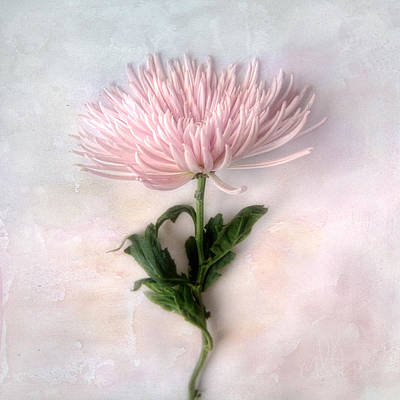 Photograph - Pretty Pink Mum by Louise Kumpf