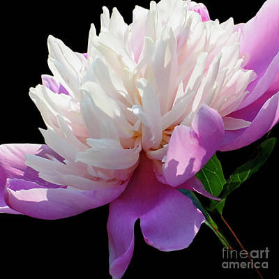 Photograph - Pretty Pink Peony Flower On Black by Carol F Austin