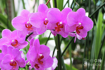 Photograph - Pretty Pink Phalaenopsis Orchids #2 by Judy Whitton