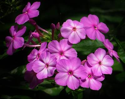 Photograph - Pretty Pink Phlox  by Lori Frisch
