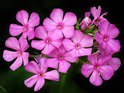 Photograph - Pretty Pink Prairie Phlox by Lori Frisch
