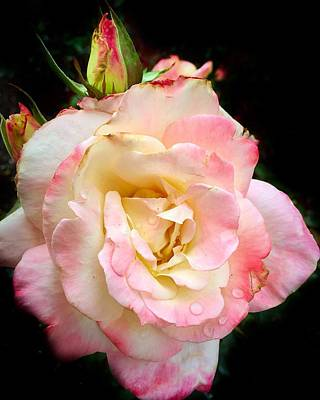 Photograph - Pretty Pink Rose by Anne Sands