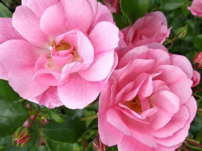 Photograph - Pretty Pink Roses by Nancy Pauling