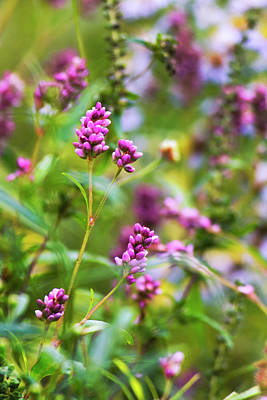Photograph - Pretty Pink Smartweed Flowers by Christina Rollo