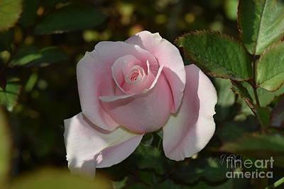 Photograph - Pretty Pink Tea Rose by Jeannie Rhode