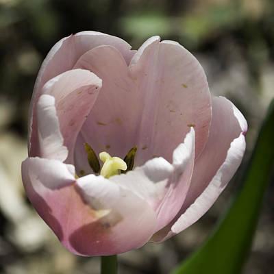 Pretty Pink Tulip Squared Art Print by Teresa Mucha