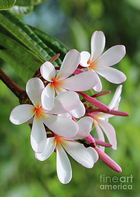 Photograph - Pretty Plumeria by Carol Groenen
