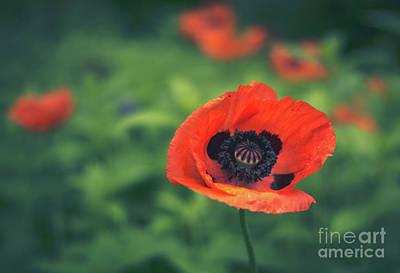 Photograph - Pretty Poppy by Cheryl Baxter
