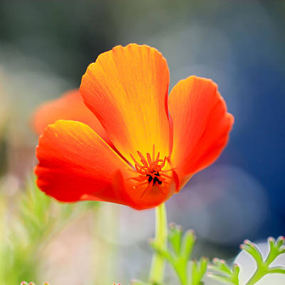 Photograph - Pretty Poppy by Heidi Smith