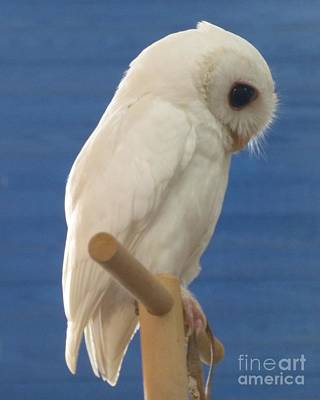 Photograph - Pretty Pose By Luna The Rescued White Leucistic Eastern Screech Owl  by Barbie Corbett-Newmin