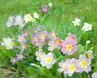 Photograph - Pretty Primulas 1008 by Julia Woodman