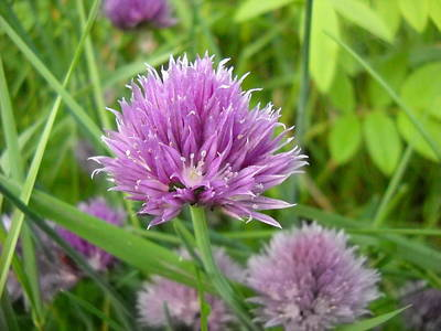 Photograph - Pretty Purple Chive Flower by Kent Lorentzen