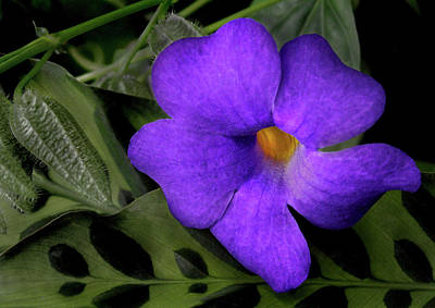 Photograph - Pretty Purple Flower by Nancy Griswold