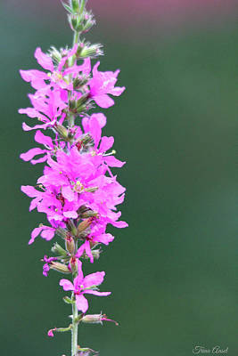 Photograph - Pretty Purple Loosestrife by Trina Ansel
