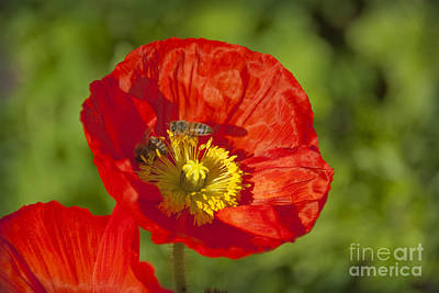 Photograph - Pretty Red Poppy  Flowers by David Zanzinger