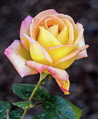 Photograph - Pretty Rose by Jane Luxton