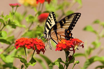 Photograph - Pretty Swallowtail Butterfly On Lantana Flowers by Jill Lang