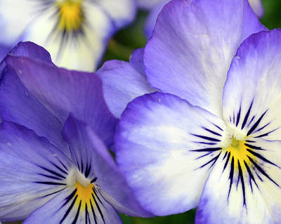 Photograph - Pretty Violas by Ann Bridges