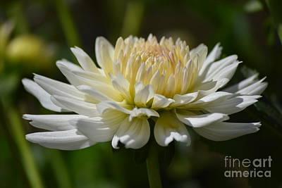 Photograph - Pretty White Dahlia by Jeannie Rhode