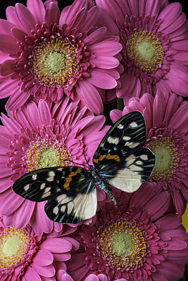 Gerbera Photograph - Pretty Wings On Pink Daises by Garry Gay