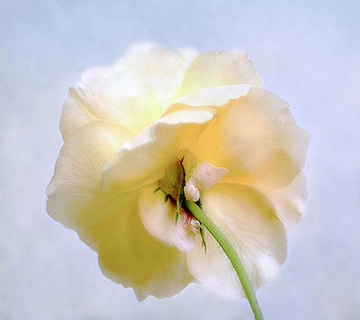Photograph - Pretty Yellow Rose by Louise Kumpf
