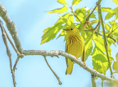 Photograph - Pretty Yellow Warbler by Cheryl Baxter