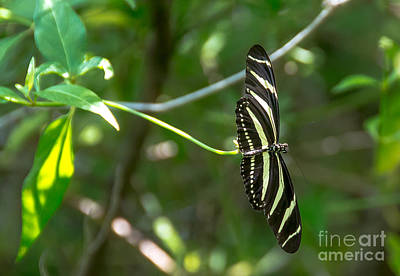 Photograph - Pretty Zebra Butterfly by Cheryl Baxter