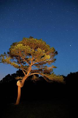Photograph - Pretzel Pine by Steve Stuller