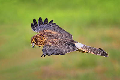 Photograph - Prey Flyby by Craig Strand