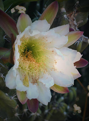 Art Print featuring the photograph Prickley Pear Cactus by Kate Word