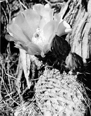 Art Print featuring the photograph Prickly Beauty by Allan McConnell
