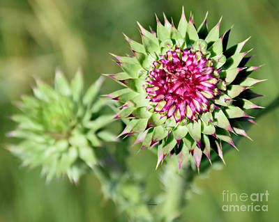 Photograph - Prickly Beauty by Kathy M Krause
