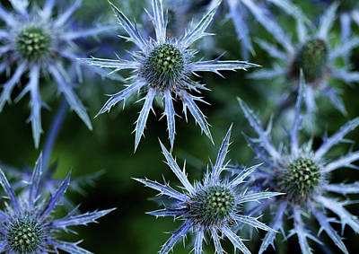 Photograph - Prickly Blue Stars by Debbie Oppermann