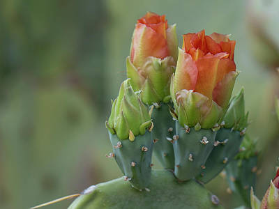 Photograph - Prickly Pear Blooms by Sue Cullumber